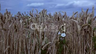 Ackerwinde im Weizenfeld