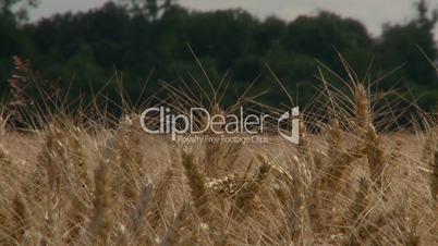 Weizenfeld im Sonnenschein