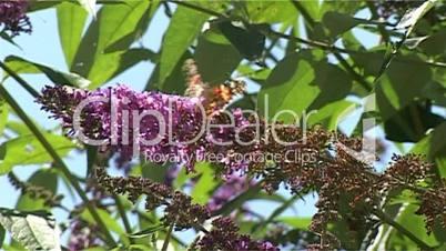 Schmetterling auf Flieder 10