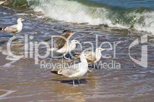 Möwen, herring gulls