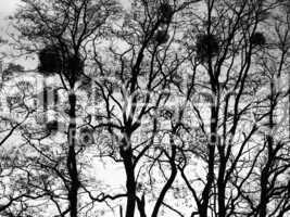 Süd-Niederlande Bäume mit Misteln
