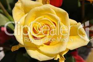 Gelbe Rose