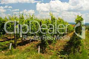 Weinberg, vineyard