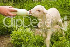 Lammfütterung, lamb feeding
