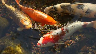 Koi Fish Feeding in a Pond