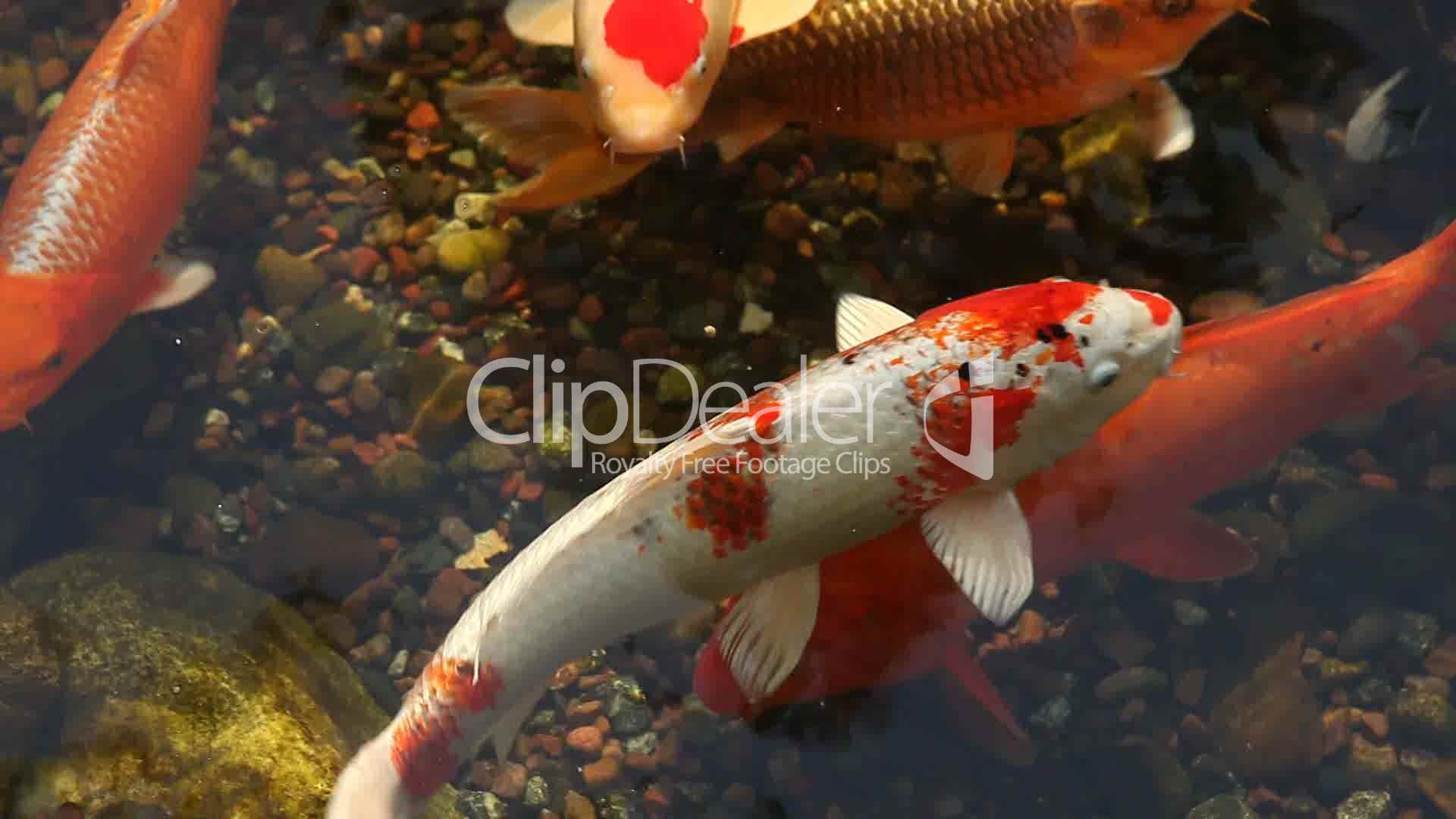 Koi fish feeding in a pond royalty free video and stock for Koi feeding