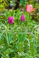 Tulpen im Garten, Tulips in garden