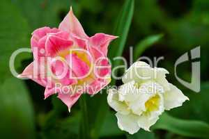 Tulpe, tulip, Tulipa