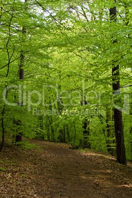 Waldweg im Frühjahr, forest track in spring