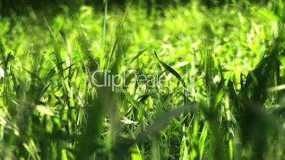 Grass in spring field