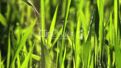 Grass blows in the breeze