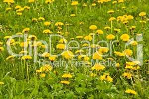 Löwenzahn, dandelion