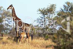 Giraffes in South Africa