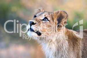 Löwe - Lion