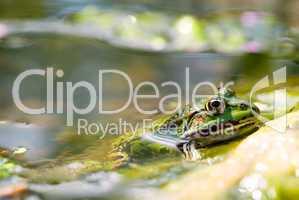 Grüner Wasserfrosch im Teich -.Edible Frog in pond close-up
