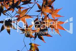Herbststimmung mit rotem Ahorn -.Red maple leaves against deep blue sky