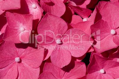 Rote Hortensienblüte als Makro -.Red Hortensia flowers