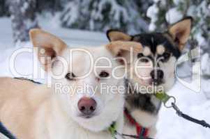Schlittenhunde am Polarkreis