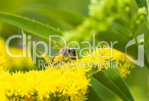Wildbiene mit Pollen -.Bee collecting yellow pollen