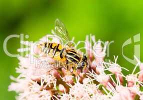 Bunte Wespe sammelt Pollen -.Wasp collecting pollen