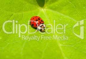 Marienkaefer, der Gluecksbringer -.Colorful red ladybug on green leaf