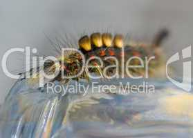 Raupe des Schlehen-Bürstenspinners -.Colorful caterpillar of the rusty tussock moth