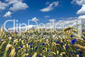 Weizenfeld mit blauen Kornblumen -.