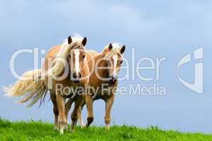 Zwei Pferde im Galopp auf der Weide.