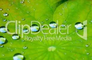 Wassertropfen auf dem Lotusblatt -.Lotus leaf with water drop