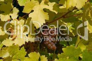 Weintrauben im Weinberg -.