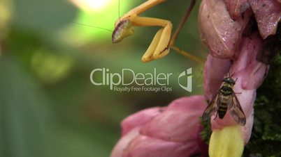Praying mantis catching a fly