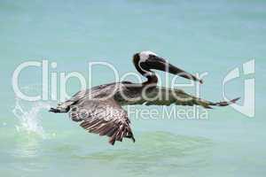 Startender Pelikan