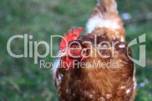 Nahansicht eines braunen Huhns