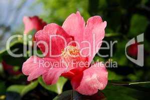Camellia, Kamelie