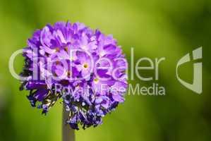 Kugelprimel, Primula denticulata, Primulaceae