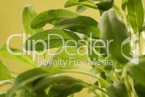 Salbeiblätter Salvia