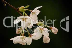 Kirschblüten, Prunus serulata, Cherry Blossom