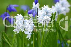 Puschkinia scilloides,  Puschkinien, und Blausternchen, Scilla siberica