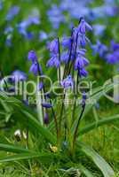 Blausternchen, Blauglöckchen, Scilla, Scilla siberica, Bluebells