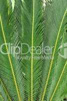 Japanischer Palmfarn, Cycas revoluta