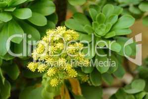 Aeonium valverdense, Dickblatt