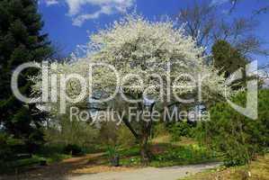 Prunus cocomilia, Cocomilio-Pflaume, Pflaumenbaum