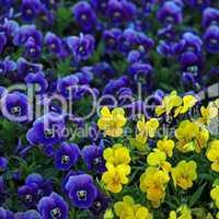 Violette und gelbe Veilchen