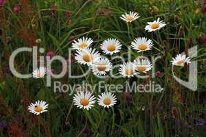 Magerwiese in voller Blüte