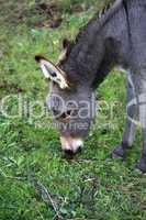 Junger Esel beim Fressen