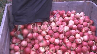 Royal Gala apples picked into a bin
