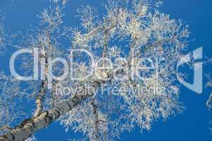 Tree, hoarfrost, sky.