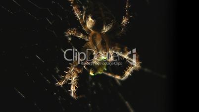 Spinne frisst Falter
