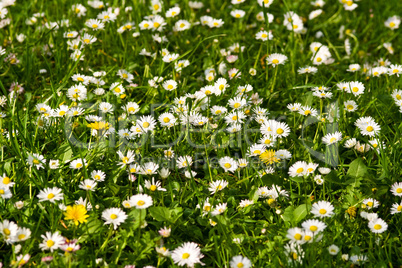 Gänseblümchenwiese, meadow with daisies