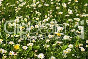 Gänseblümchenwiese, meadow with daisies